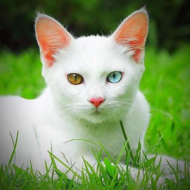 Изюминка породы као мани - разноцветные глаза