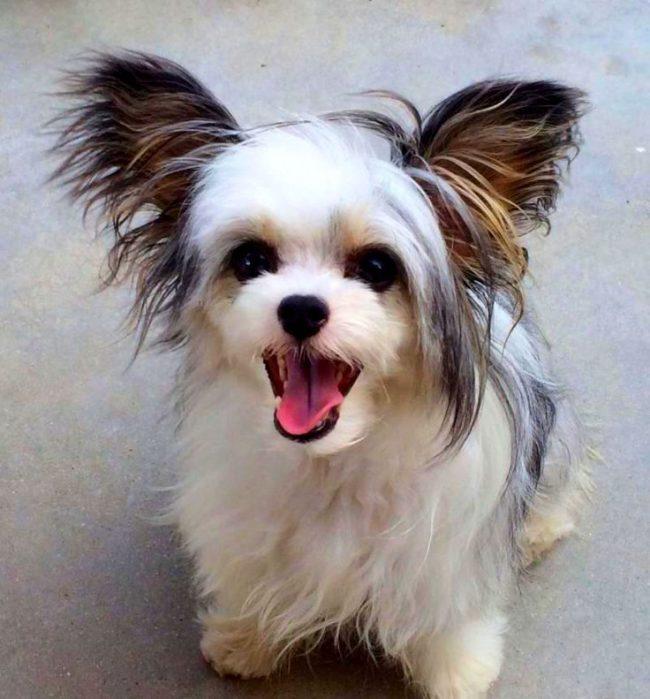 Китайская хохлатая пуховая - очень дружелюбная собака, она легко заводит новых друзей