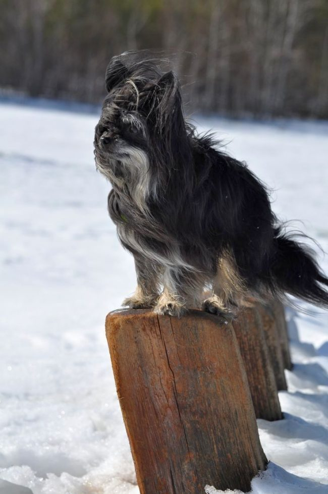 Китайская хохлатая пуховая собака практически не линяет, поэтому надо внимательно следить, чтобы в ее шерсти не образовывались колтуны