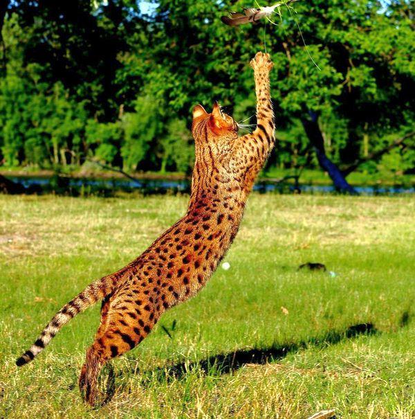 """Пришло время подводить итоги. Итак, победителем рейтинга """"Порода самых больших кошек"""" становится саванна"""
