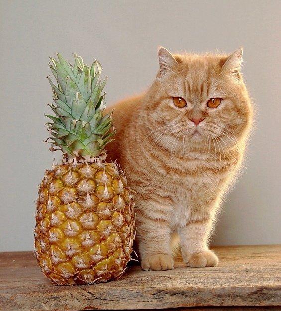 Кот экзот очень любит вкусненькое