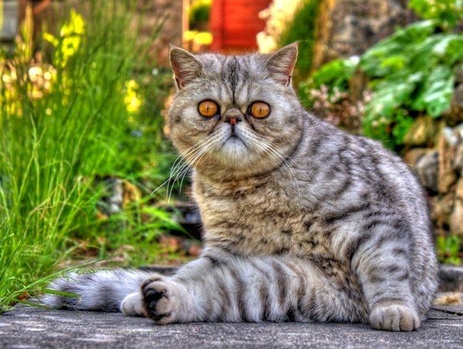 Кот экзот получился в результате скрещивания персов, американских короткошерстных, русских голубых и бурмы