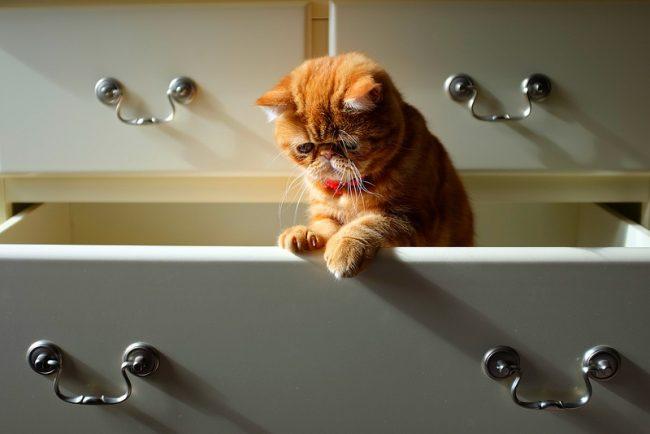 Кот экзот умеет самостоятельно умываться и очищать свою шубку, поэтому устраивать для него банные процедуры нужно раз в 1-2 месяца