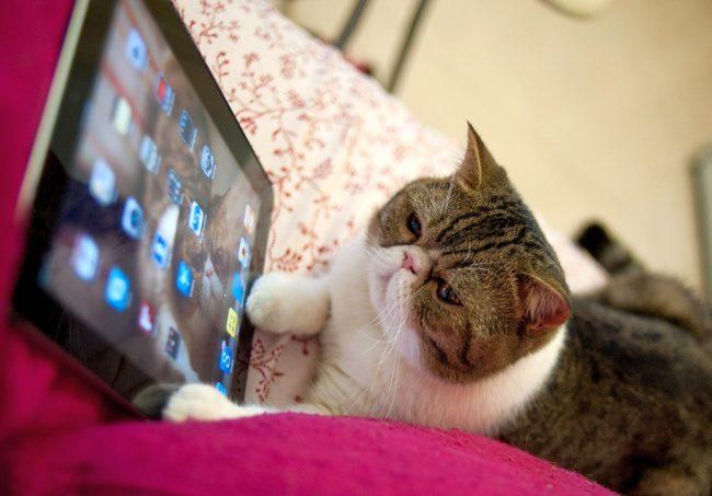 Кот экзот - очень сообразительное животное, которое умеет обращаться с современными гаджетами