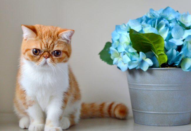 Второе название кота экзота - снупи. Эти котики молчуны, они редко подают голос