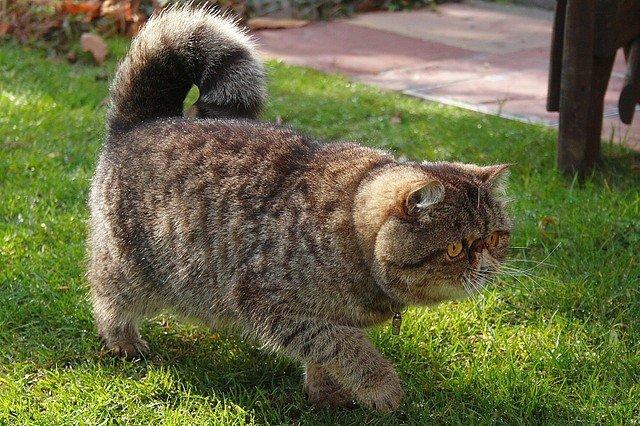 Хозяевам следует регулярно следить за чистотой носа животного. Из-за необычной формы носа кота экзота, у пушистика могут быть проблемы с дыханием