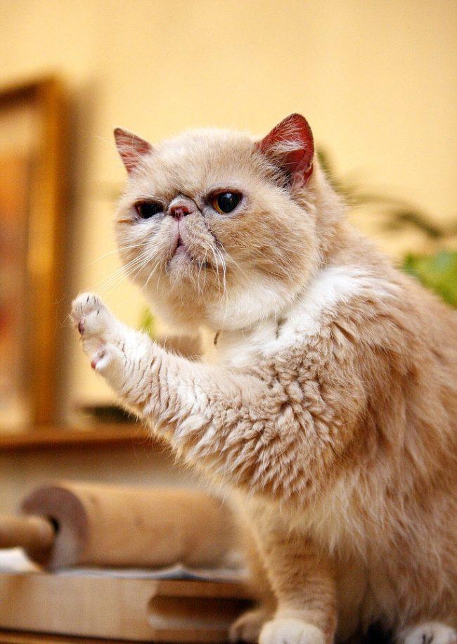 Кот экзот обладает спокойным нравом, хотя молодые особи изредка устраивают «забеги» по дому, разминая свою мощную мускулатуру