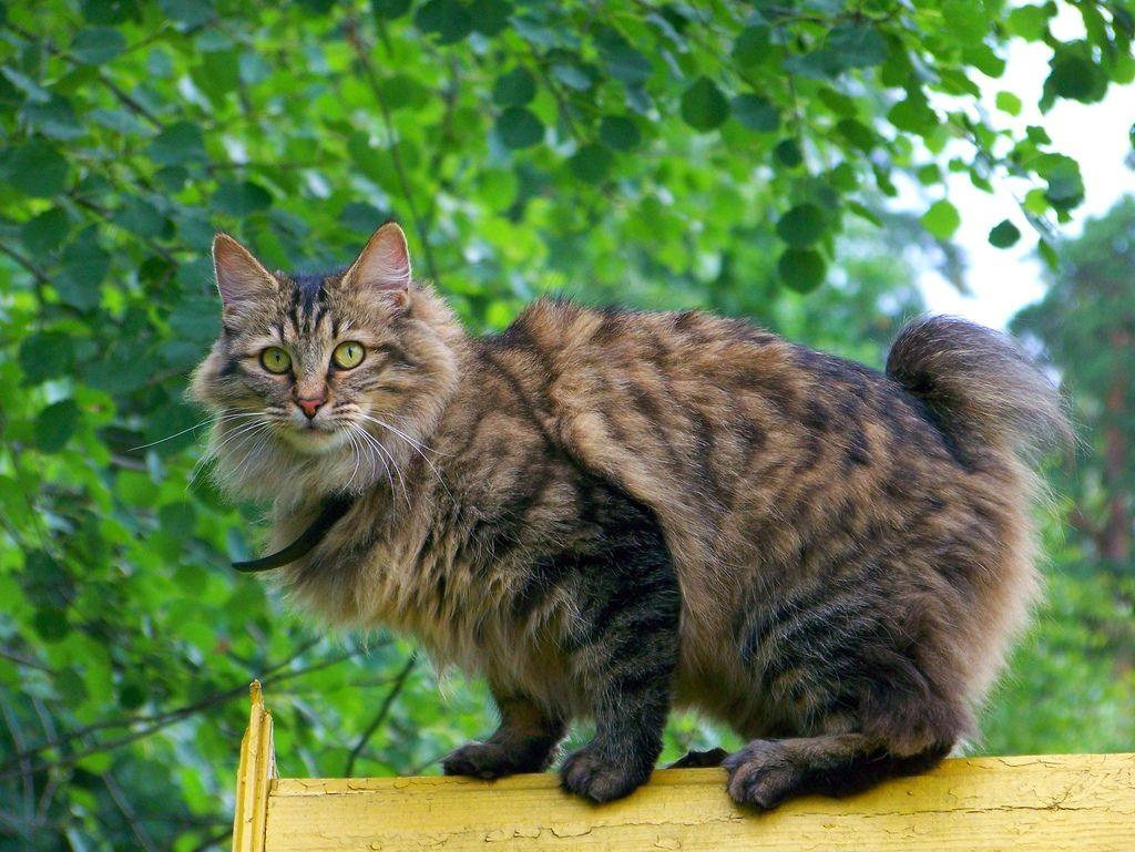 Курильский Бобтейл – фото кошки, описание характера курильских бобтейлов и характеристика породы
