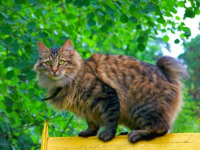"""Хит-парад """"Порода больших кошек"""" с 10 места открывает курильский бобтейл - обладатель коротенького хвоста"""