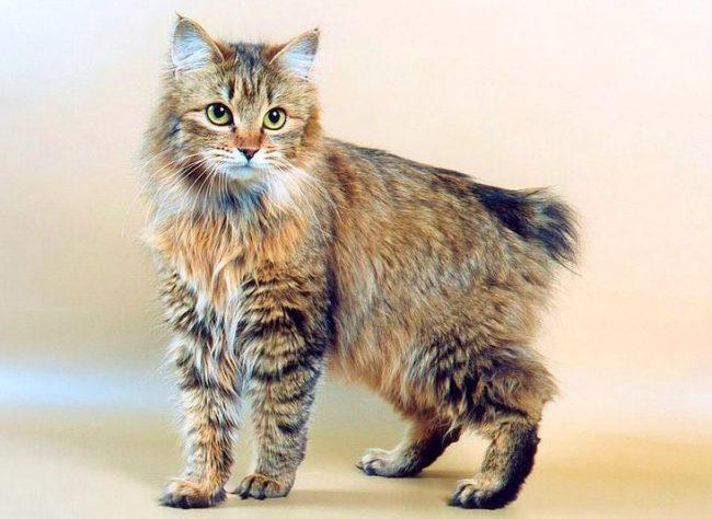 Главной особенностью кошек породы бобтейл курильский является короткий хвост
