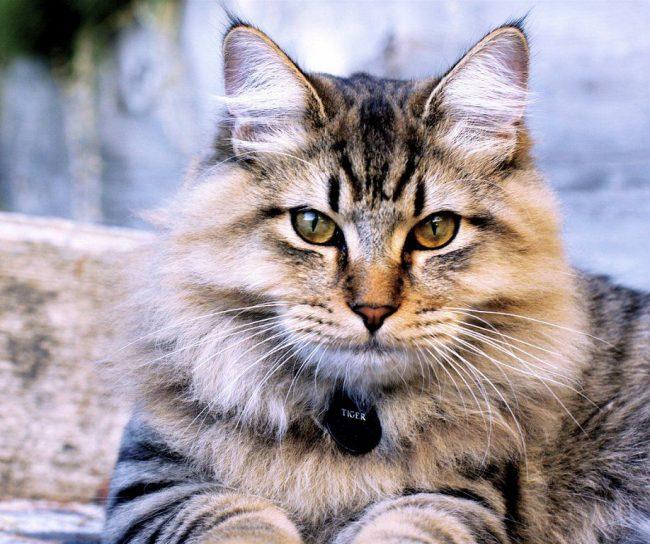 Общительность, ловкость и природный интеллект, поразительная преданность человеку и его семье - все это о кошках породы бобтейл курильский