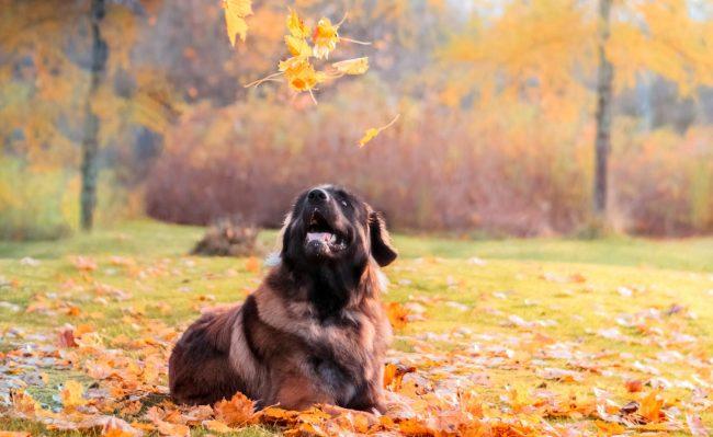 Желательно выгуливать собаку не реже двух раз в день. Отлично, если у вас есть возможность вывести питомца к речке или большой парк, где он сможет выплеснуть всю свою энергию и получить хорошую зарядку для мышц