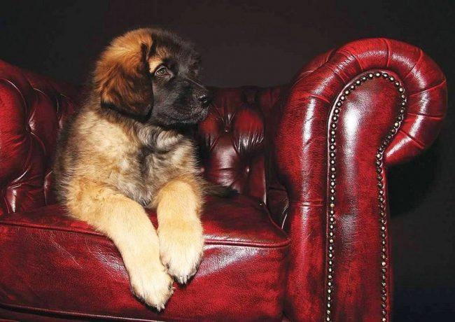 Если лев - царь цверей, то леонбергер - царь собак