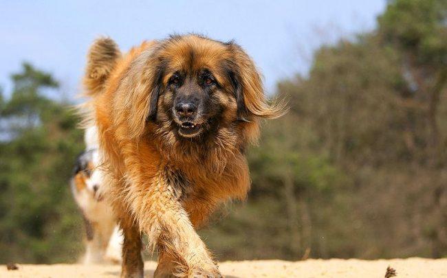 Бесспорный симпатяга, леонбергер и внешним обликом, и своими внутренними качествами привлекает внимание многих любителей собак