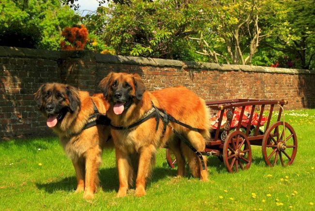 """Ленобергер часто входит в различные списки типа """"Самые красивые собаки в мире"""", и не удивительно - только посмотрите на мощь и силу этого пса"""
