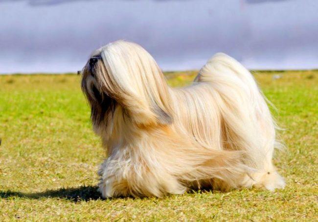 Маленькие собачки, обладающие длинной и красивой шерстью, как апсо, являются частыми гостями на всевозможных выставках