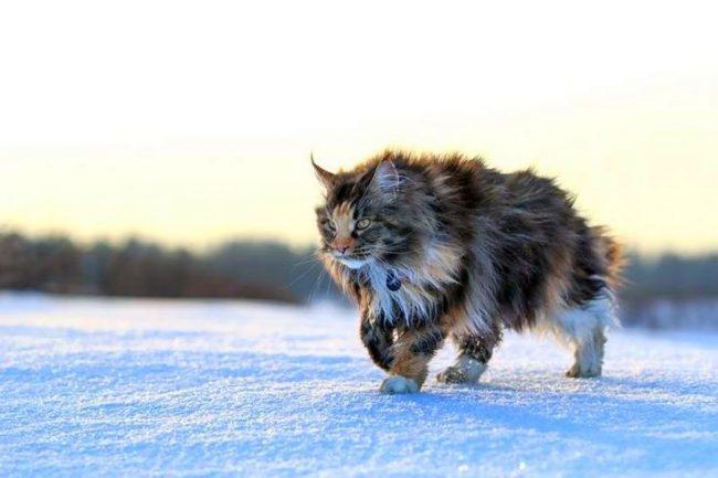 Благодаря шикарной шерсти мейн-куны не боятся холода и спокойно переносят морозы