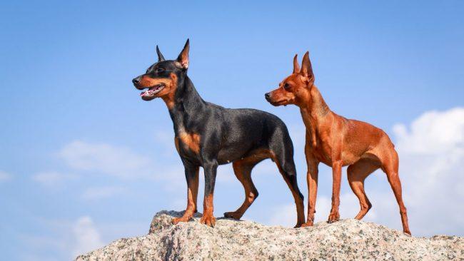 Правильно воспитанные собаки этой породы отлично уживаются с разными животными, и более того - просто обожают четверолапых компаньонов. Поэтому не бойтесь принести в квартиру очередного домочадца, ваш пёс будет от этого в восторге