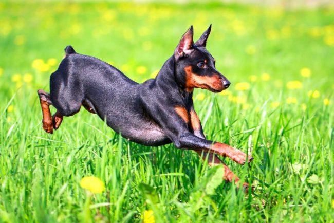 Карликовый пинчер (цвергпинчер) относится к карликовым породам собак, которые отличаются не только своим внешним изяществом и элегантностью, но и энергичным нравом