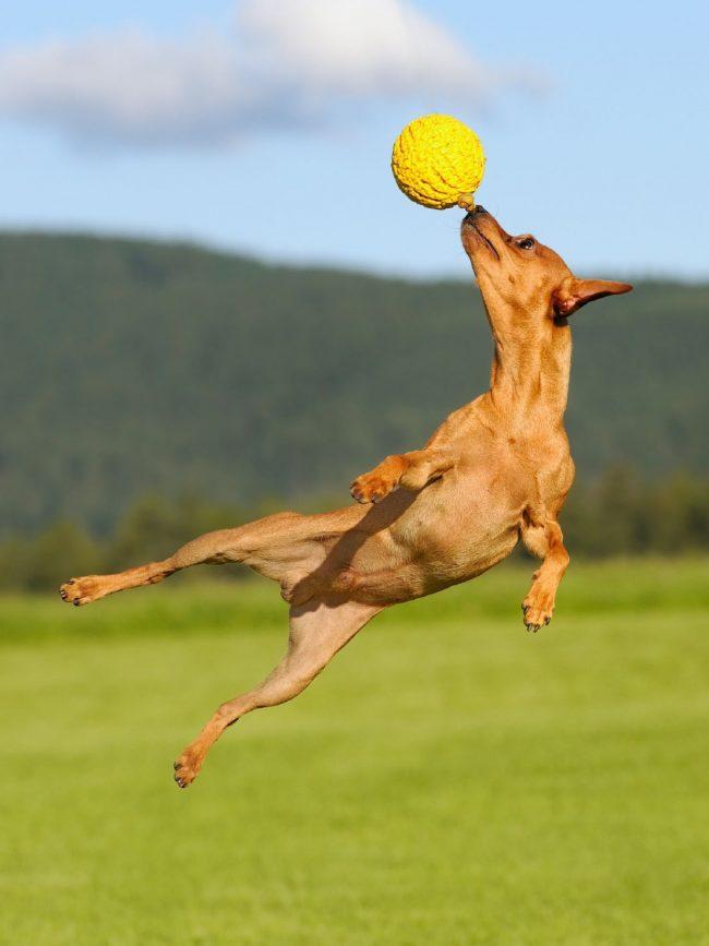 При выборе щенка породы карликовый пинчер, обратите внимание на его активность. Эти собаки - заядлые спортсмены и ни один день из их жизни не проходит в пассивном лежании или длительном, монотонном отдыхе в удобном месте