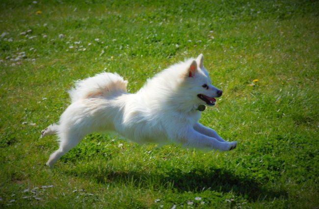 Средний и малый шпиц - веселые собаки, обожающие побегать и поиграть. Любят воду и охотно плавают, с удовольствием резвятся на природе