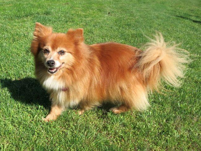Если вы способны абстрагироваться от частого и громкого лая немецкого шпица, то эта собака - лучший выбор в качестве домашнего любимца