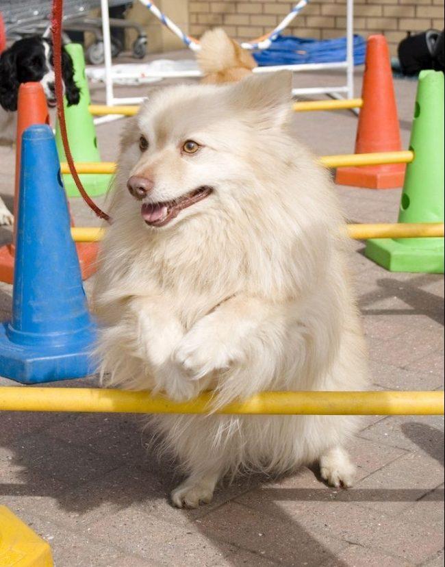 Немецкий шпиц - умная собака, которая легко может выучить несколько трюков и команд