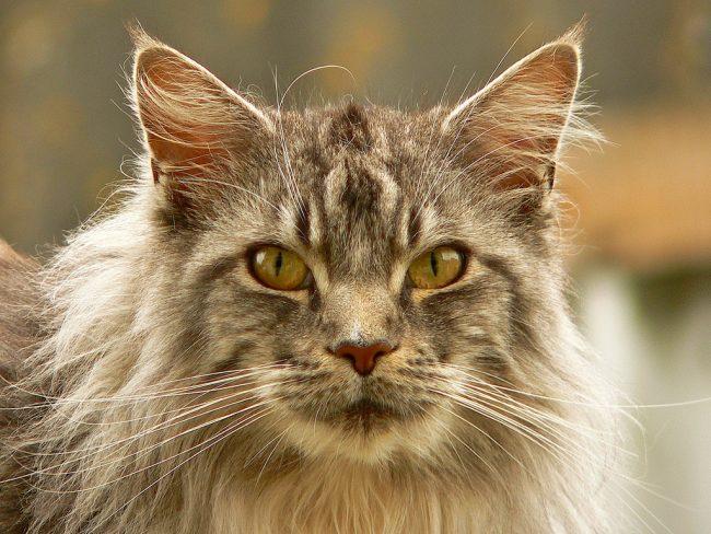 Если вы надеетесь выдрессировать кошку, вам точно не стоит заводить норвежскую лесную. У нее на все своя точка зрения, и если она не захочет чего-то делать - ее не заставить