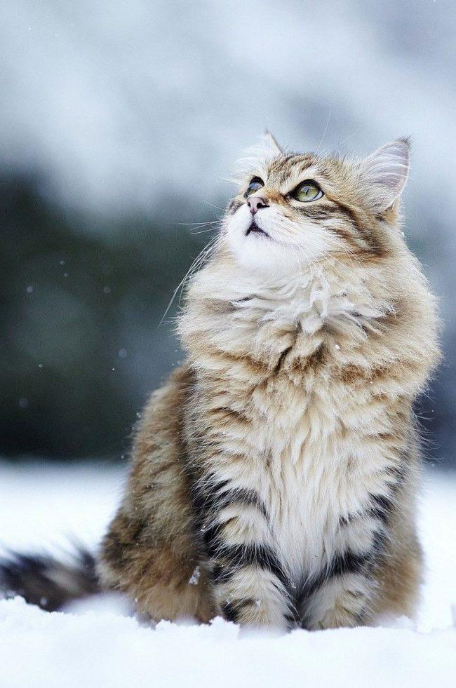 Norvejskii_lesnoy_kot_16Норвежская лесная кошка располагает шикарной длинной и густой шерстью, которая помогает выживать в строгих условиях Норвегии. Эти кошки неимоверно выносливые, легко переносящие и снег, и ветер