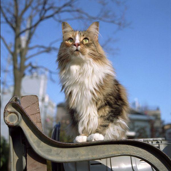 Норвежские лесные кошки здоровенные. Взрослый кот может весить более семи килограммов