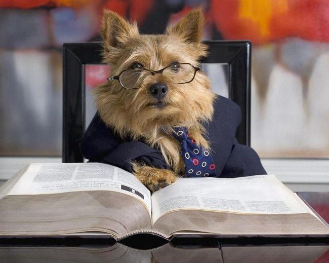 Норвич-терьер - собака очень умная. Один из них устроился профессором в университете