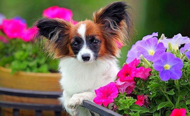 Активный и игривый папильон никогда не будет сидеть на месте, эти собаки обожают резвиться и узнавать окружающий их мир. Кстати, папильоны большие охотники погоняться за добычей: мухами, бабочками и даже грызунами