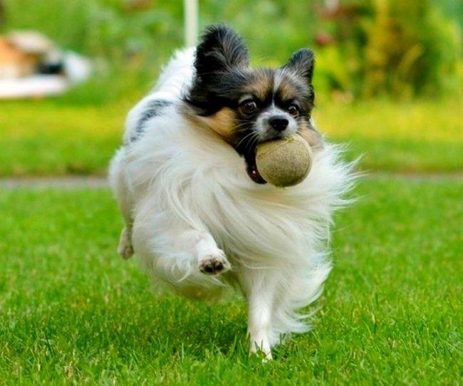 Папильон обожает веселиться, бегать и играть. Его необходимо выгуливать дважды в день по 20-30 минут