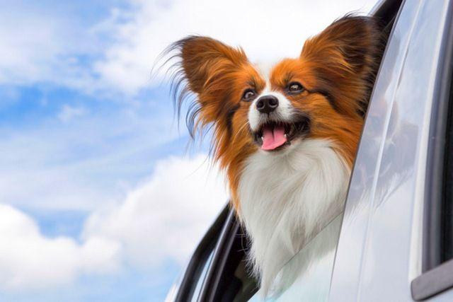 """Папильон - это веселая собачка, """"вечный ребенок"""", способна развеселить хозяина и его членов семьи даже в ненастные дни"""
