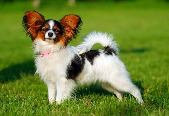 """Папильон в переводе с французского означает """"бабочка"""". Это название собака получила благодаря форме своих ушей, напоминающей крылья бабочки"""