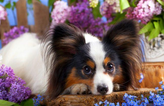 порода собак бабочка папильон фото