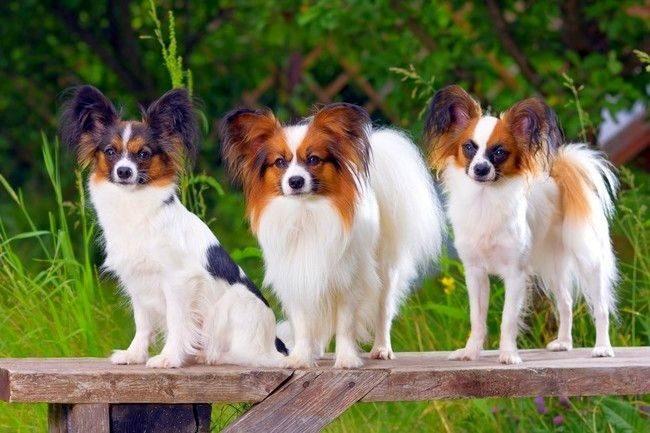 Без папильонов нет ни одного списка, где перечисляются самые красивые породы собак в мире. Этот симпатяга, с ушами, напоминающими крылья бабочки, не оставляет равнодушным никого