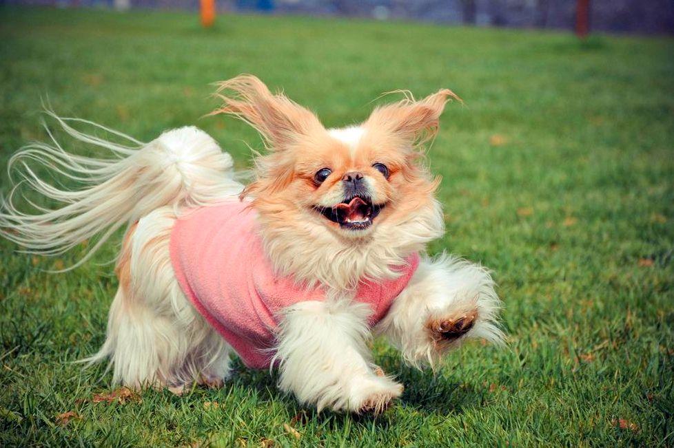 Нарисованная собака пекинес