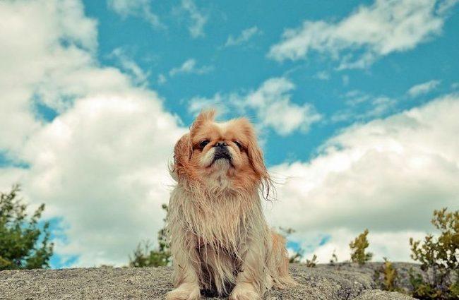 Пекинес – это собака с королевскими повадками. Ее можно даже не пытаться подозвать к себе, если она не хочет этого