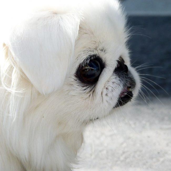 Собака пекинес всегда двигается медленно, размеренно, как императорская особа. В квартире она чаще всего спит или ходит по комнатам, ища, к кому бы сесть на руки