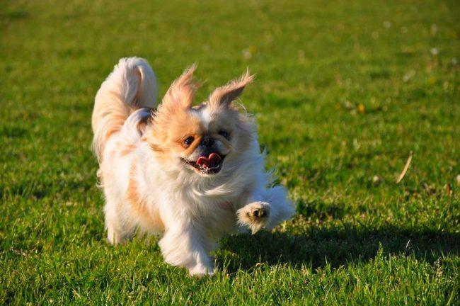 Пекинес - одна из самых подходящих пород для содержания в квартире. Собаки легко привыкают к режиму дня хозяев