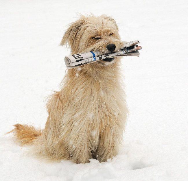 Пиренейская овчарка - чувствительная и независимая собака, в тоже время добрая и стремящаяся угодить своему хозяину