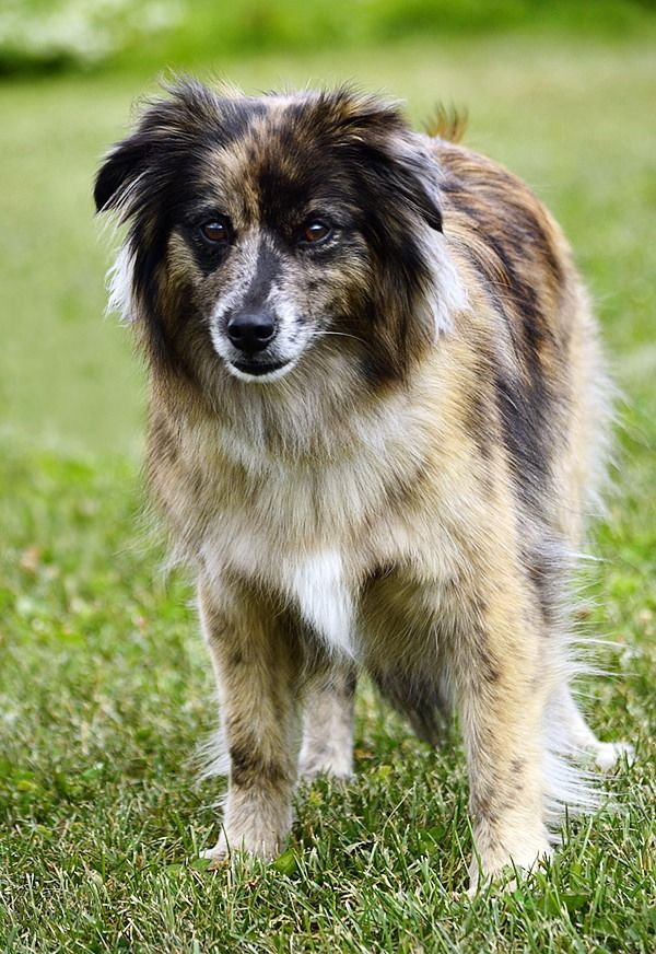 Собаки этой породы не могут жить без цели - отсутствие физических нагрузок и прогулок сильно изменяют характер животного вплоть до увеличения агрессии