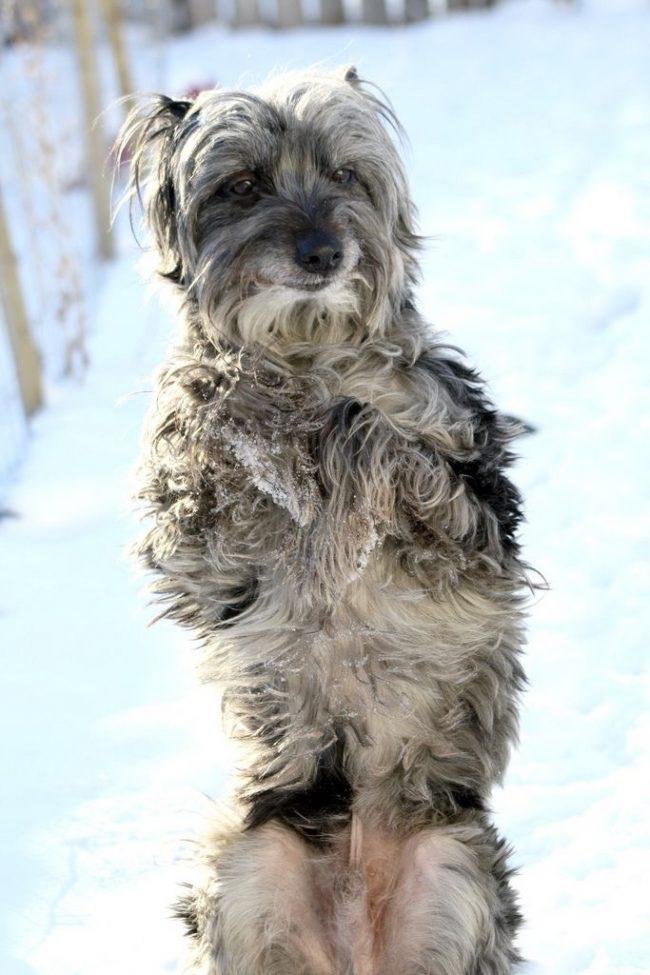 Активная, азартная, энергичная собака - пиренейская овчарка не может сидеть взаперти и часто подает голос. Будьте уверены, оставленный наедине с собой пес, обязательно перевернет весь дом