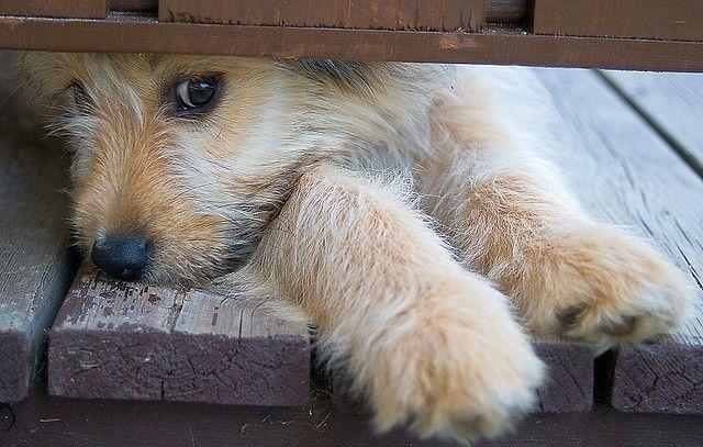 Содержание пиренейской овчарки в квартире станет большой ошибкой для ее хозяина, в таких условиях собака жить совсем не привыкла
