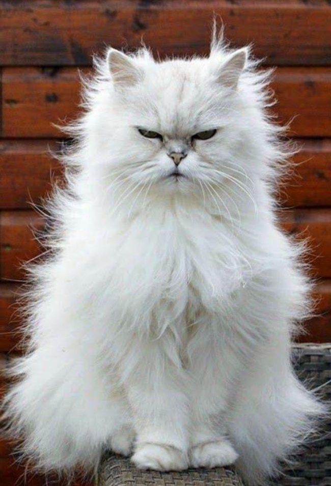 Персы коты продолжительность жизни