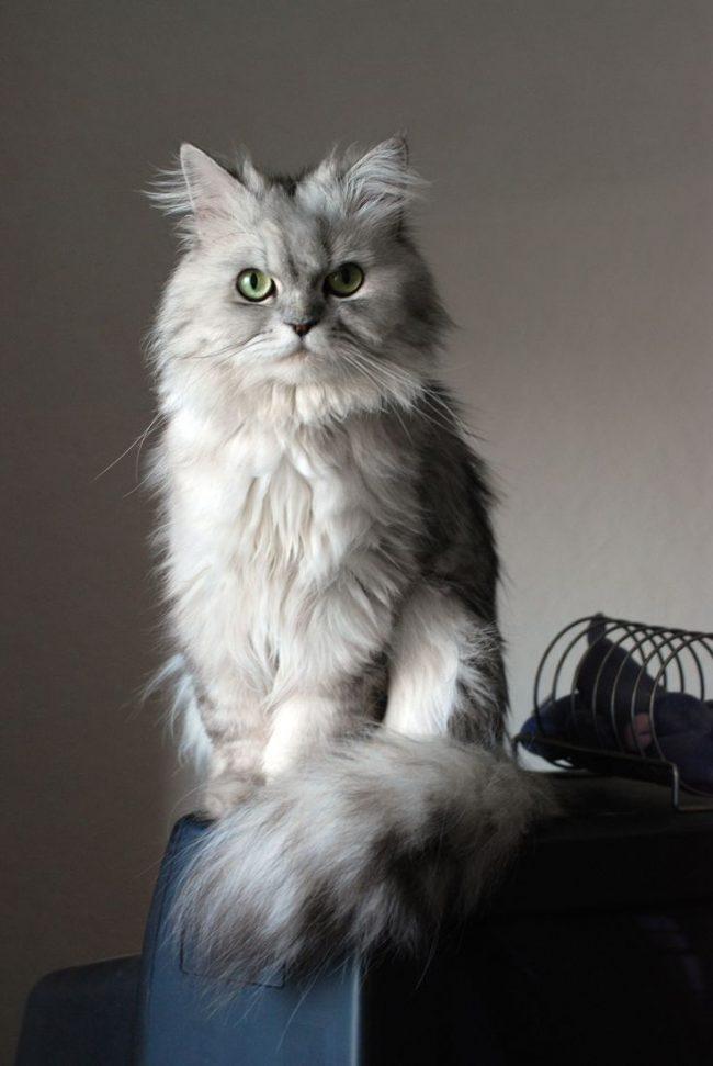 Тренд на персидских кошек создала королева Виктория, у которой был их целый десяток, и все голубого окраса