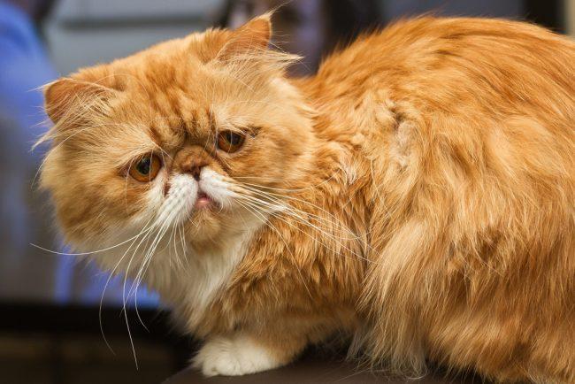 Персидская кошка по натуре домосед, очень любит общение, особенно с детьми. Она чрезвычайно ласкова и доверчива к своим хозяевам