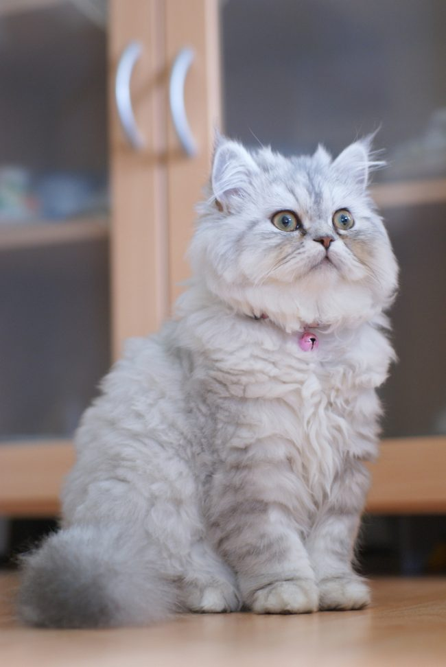 Кошки и котята персидской породы любят играть, поэтому приобретите для них мячик и еще что-нибудь мягкое. Трех разных предметов будет достаточно
