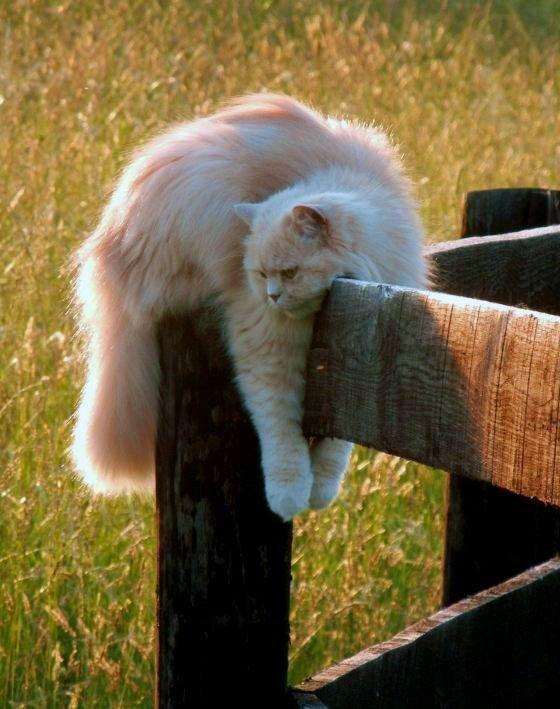 Для кошки перса требуется индивидуальное просторное место, где она сможет вытянуться во всю длину или свернуться клубочком